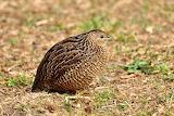 Brown Quail - New Zealand Bird