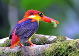 BlackBackedKingfisher