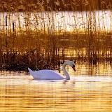 Swan Lake...