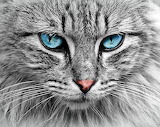 Beautiful grey longhair cat
