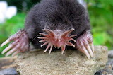 Yuck - Star-Nosed Mole, is a small mole found in wet low areas i