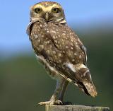 Owl - Little Owl - found in Hertfordshire, England