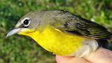 #Tennessee Warbler