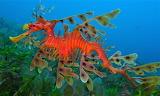 #Leafy Seadragon