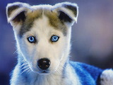 Hd-cute-husky-puppies-wallpaper-1