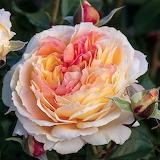 ^ 'La Park' Floribunda Rose