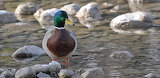 Mallard on the Lake