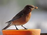 Female Eastern Bluebird on our window feeder this week
