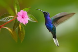 Hummingbird - Colibrí