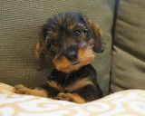 Dog Breed - Wire Haired Dachshund