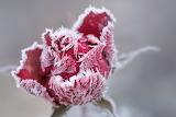 bouton de rose givré