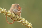 Fieldmouse @ 1zoom.me...