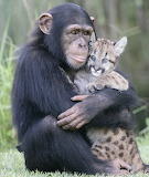 Chimp and a baby Puma