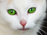 Cat white with green eyes