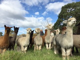 Curious by Softwood Alpaca Farm
