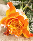 #Yellow Rose Frosted