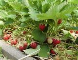 Erdbeeren 2