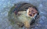 European otter near Lelystad. Netherlands