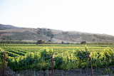 Vineyard near Buellton, CA