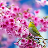 *Early Bird Gets the Cherry Blossom...