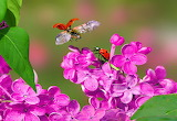 Flowers, branch, pair, ladybugs, lilac
