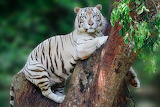 Tiger, white, tree, leaves, paws, trunk, bark, blue eyes, bokeh