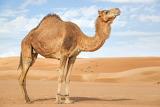 Camello-arabia-caracteristicas