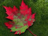 ^ Maple leaf changing color