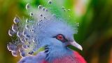 ^ Crowned pigeon