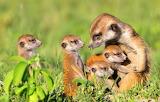 Meerkats ~ Botswana