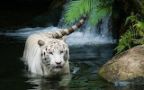 White_tiger_beautiful-wide