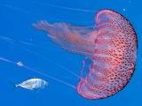 Jellyfish - Meduses