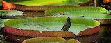 Common myna bird on lily pad