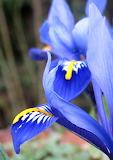 Iris -Vera Cratochvil