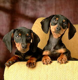 Double Dachshunds