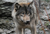 Timber Wolf 7