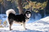 Dogs Winter Alaskan Malamute Snow 571654 1280x853