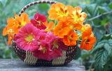 Basket of nasturtiums