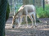 kulan (Equus hemionus)