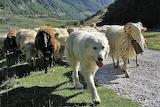 a patou leading his flock