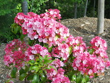^ Mountain Laurel shrub