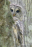 Birds - Barred Owl - Peek a Boo