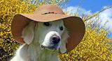 labrador wearing a beach hat