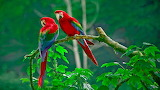 Parrots, colourful, nature, leaves, tree