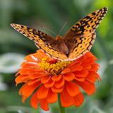 Butterfly Splendor...