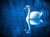 Cisne reflejado