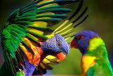 RainbowLorikeets6