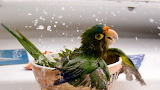 Parrot bathes