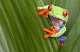 peekaboo frog