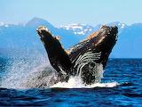 Humpback Whale, Alaska...
